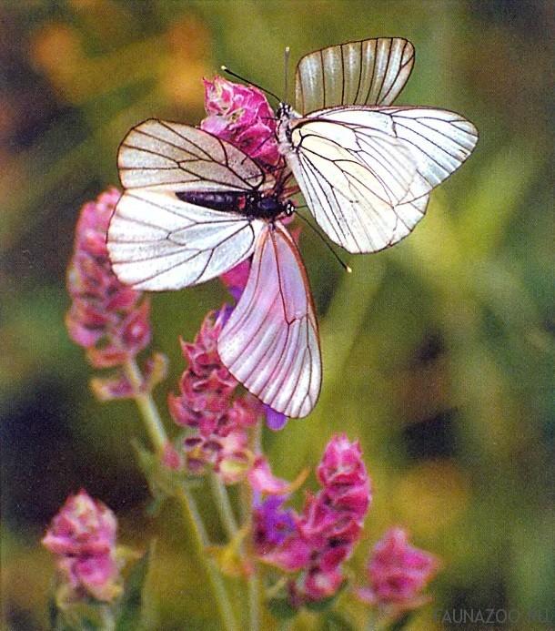 Брачный период бабочки
