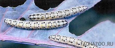 Гусеницы капустницы