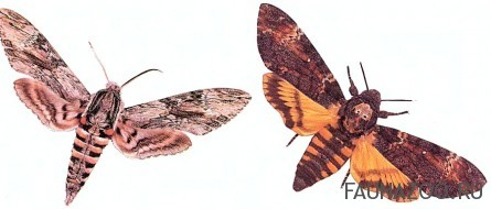 Издают ли бабочки звуки?
