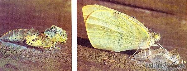 Как рождается бабочка