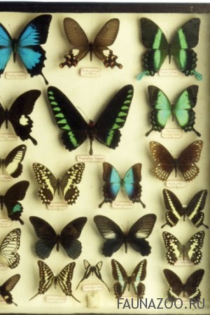 Можно ли коллекционировать бабочек?