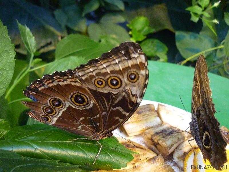 Любят ли бабочки бананы