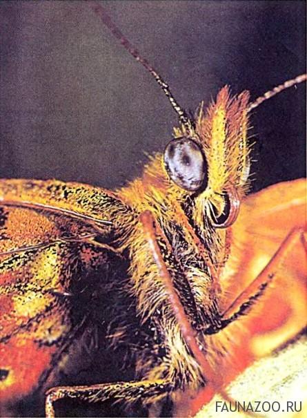 Нос бабочки