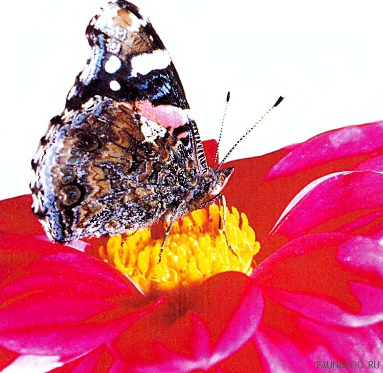 Чем бабочка пробует еду?