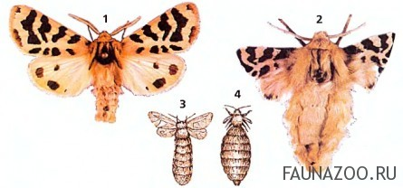 Различия бабочек