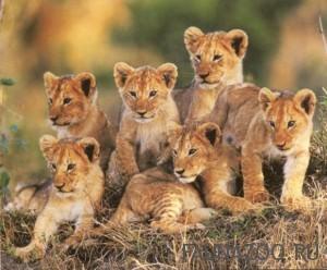 Размножение львов