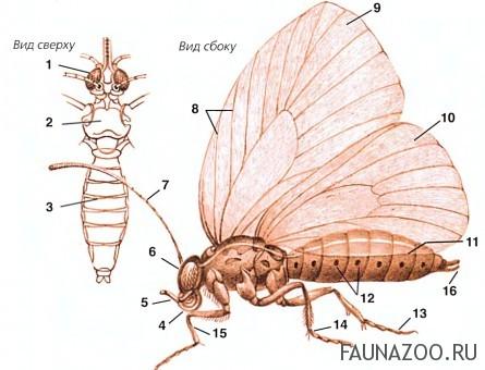Строение тела бабочки