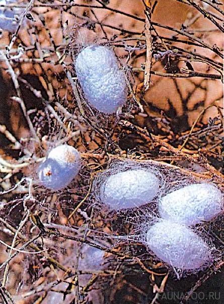 Яйца шелкопряда