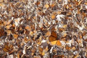 стая бабочек