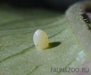Кто вылупляется из яйца бабочки?