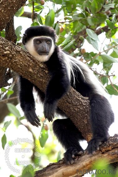 Животные Эфиопии