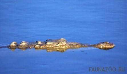 Американский крокодил
