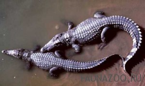 Африканский карликовый крокодил