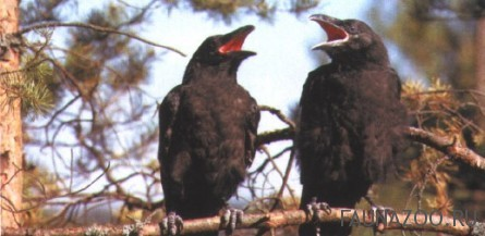 Вороны-моногамные птицы