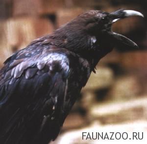 Ворон - среда обитания, строение, родственные виды