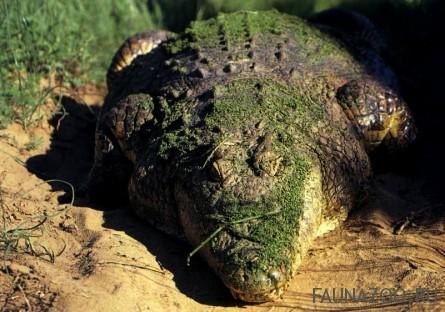 Гнезда крокодила