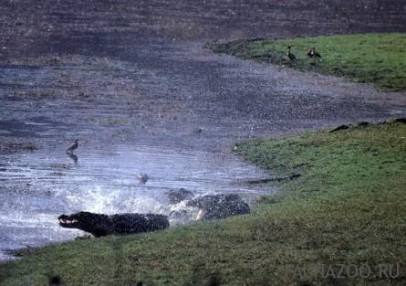 Драка крокодилов