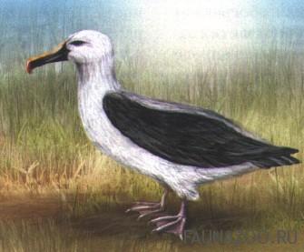 Желтоклювый альбатрос