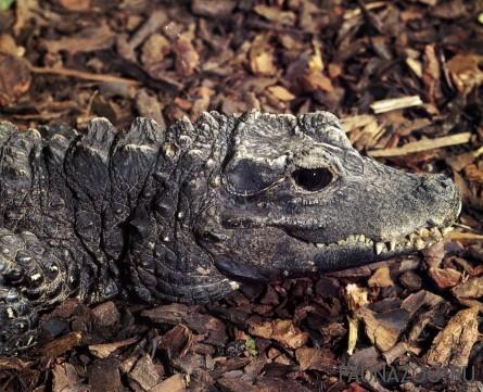 Западноафриканский карликовый крокодил