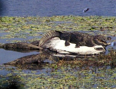 Индийский крокодил