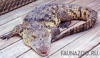 Карибский крокодил