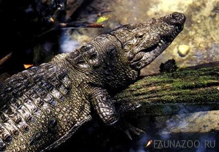 Крокодилы Морелета