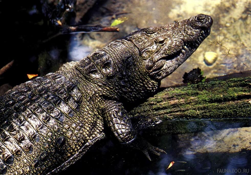 Amazon river caiman