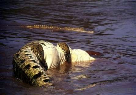 Крокодил атакует