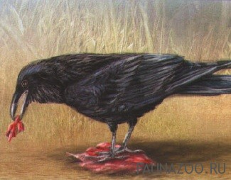 Образ жизни ворона