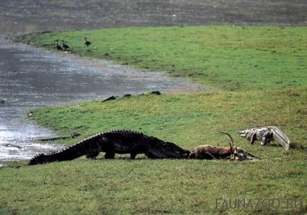Огромный индийский крокодил