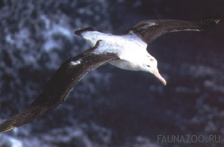 Размах крыльев альбатроса