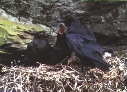 Размножение ворона