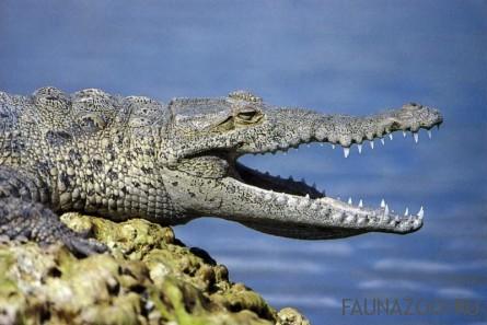 Американский крокодил с раскрытой пастью