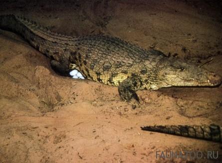 Самка крокодила откладывает яйца