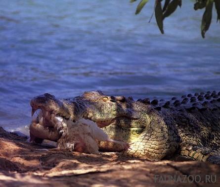 Соленоводные крокодилы
