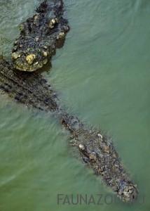 Соленоводный крокодил