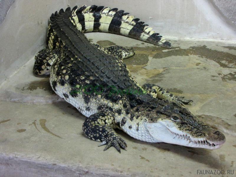 Филиппинский крокодил