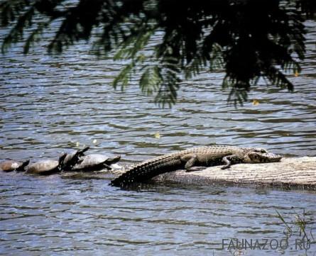 Черный кайман и черепахи