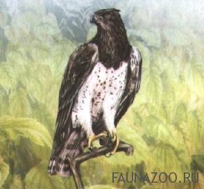 Африканский орел-воин