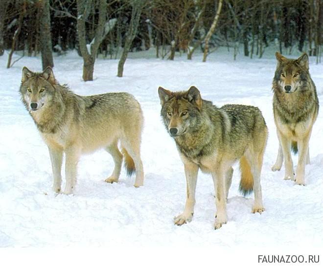 Волки серые