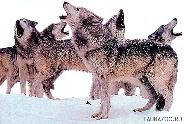 """Волчий """"язык"""" очень выразителен. Воя, волки подбадривают друг друга, торжествуют после удачной охоты, подают знак отставшим товарищам и угрожают чужакам. Поджидая матерую волчицу перед охотой, они рычат и тявкают; подзывая волчат, повизгивают, загоняя дичь, лают."""