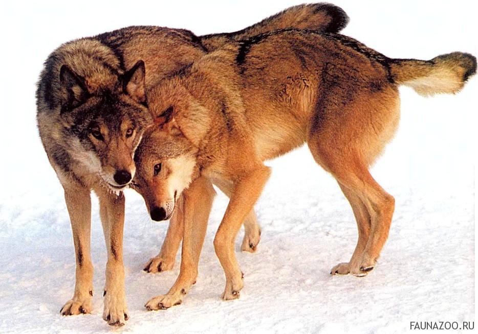 Как живет волчья семья?