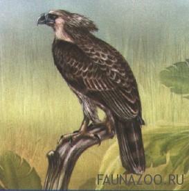 Гарпия-обезьяноед