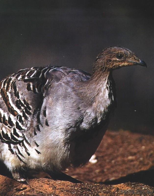 Глазчатая курица