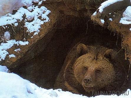 Зимовка медведя