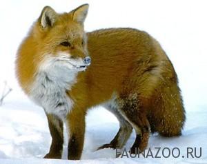 Лесной лис
