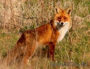 Чет питается лиса?