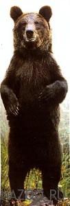 Каков образ жизни медведя?