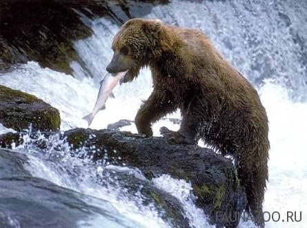 Медведь - рыболов