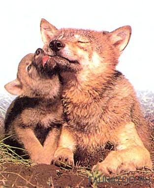 Нежные и заботливые волки